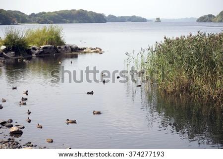 ducks on ross castle lake in killarney county kerry ireland - stock photo