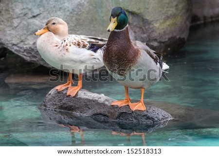 Ducks pair, femme and male - stock photo