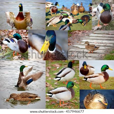 Ducks photo collage - stock photo