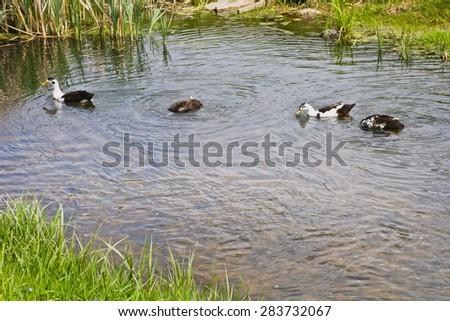 Ducks swim in a pond - stock photo