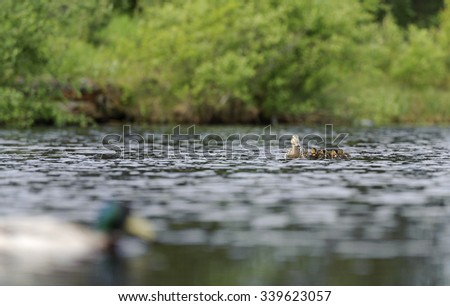Ducks swimming in the pond - stock photo