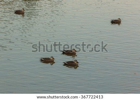 Ducks swimming in the river evening time. - stock photo