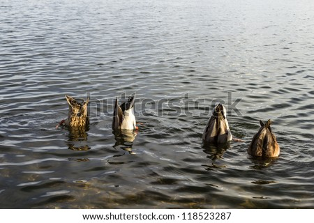 Ducks with their heads underwater (secret meeting concept) - stock photo
