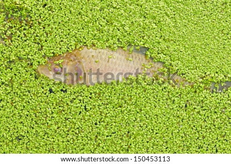 Duckweed and dead fish on the water  - stock photo