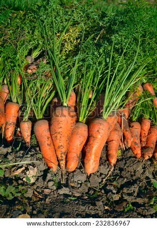 dug carrots from the garden - stock photo