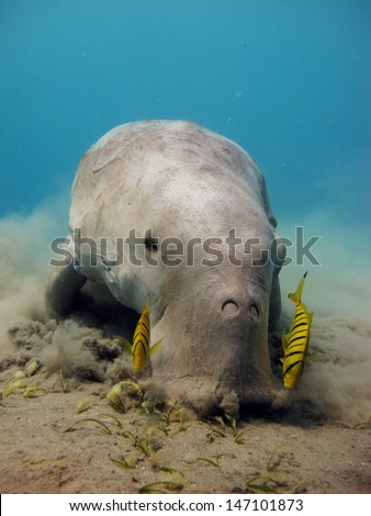 Dugong dugon eating seagrass - stock photo