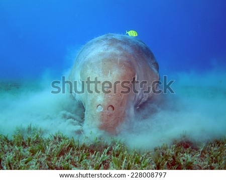 Dugong (Sirenian, mammal) feeding on a field of seagrass, Abu Dabbab - stock photo