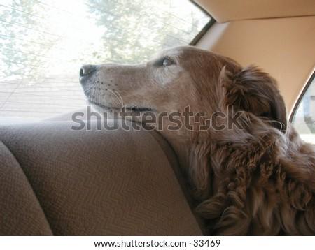 Duke in car. - stock photo