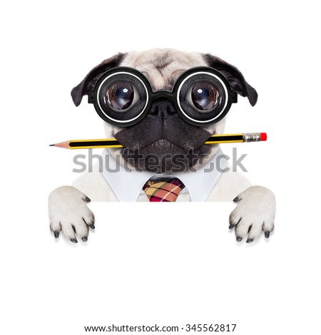 dumb crazy pug dog with nerd glasses as an office business worker,behind blank empty banner or placard,  isolated on white background - stock photo