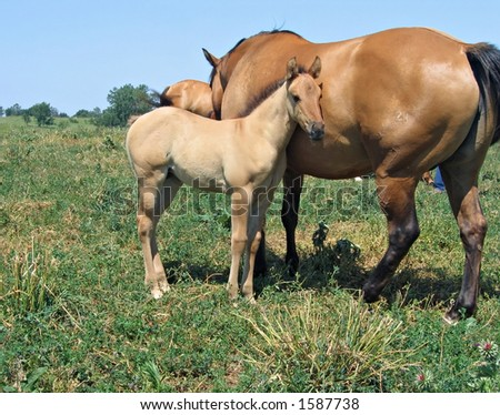 how to get a buckskin foal