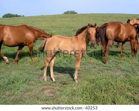 Dun quarter horse foal standing with the herd on a summer day - stock photo