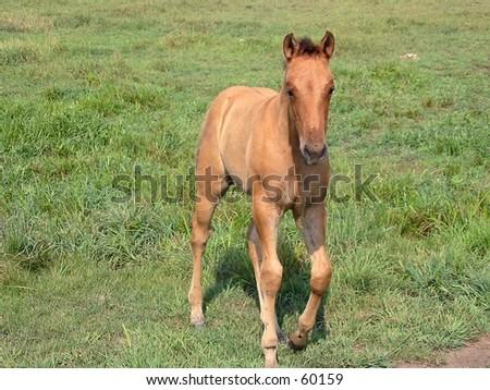 Dun quarter horse foal walking in a pasture - stock photo