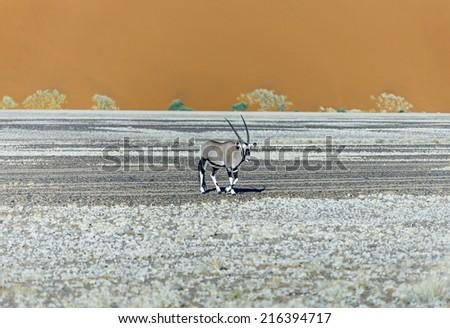 Dune and Gemsbok antelope (Oryx) in Sossusvlei plato of Namib Naukluft National Park - Namibia, South Africa - stock photo