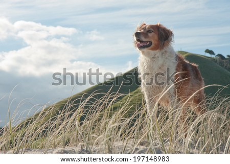 dune grass on a sandy hill against a blue sky with wispy  clouds  - stock photo