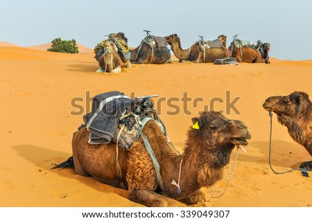 Dunes Erg Chebbi near Merzouga, Morocco -Camels used for tours into the erg - stock photo