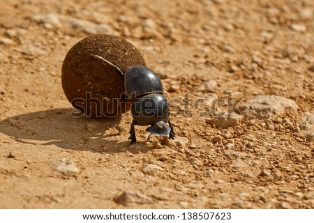 dung beetle pushing a ball of dung backwards in the morning sunlight - stock photo