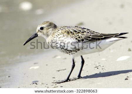 Dunlin, Calidris alpina, standing on the shore - stock photo