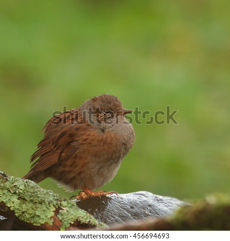 Dunnock, also known as Hedge Sparrow or Hedge Warbler perched on a rock - stock photo
