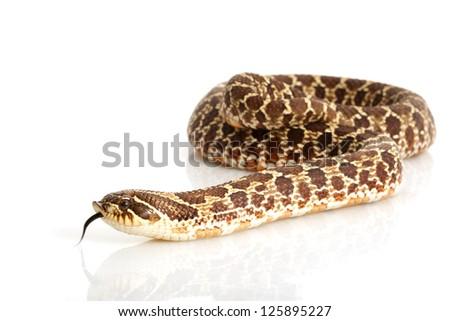 Dusky Hognose Snake (Heterodon nasicus gloydi) isolated on white background. - stock photo