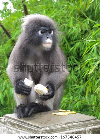 Dusky leaf monkey at Khao Lom Muag, Prachuap Khiri Khan, Thailand - stock photo