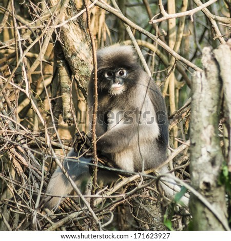 Dusky Leaf Monkey  in tropical rainforests ,Thailand - stock photo