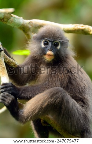 Dusky leaf monkey, Penang, Malaysia. These monkey are quite rare sights, they are living in the bush and shy of the people. - stock photo