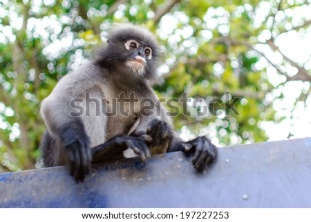 Dusky leaf monkey(Trachypithec us obscurus) in Thailand - stock photo
