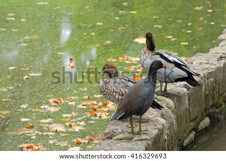Dusky Moorhen bird with yellow-tipped red bill standing in front of female and male Australian wood ducks (Chenonetta jubata) on the border or green pond during Autumn in Melbourne, Australia  - stock photo
