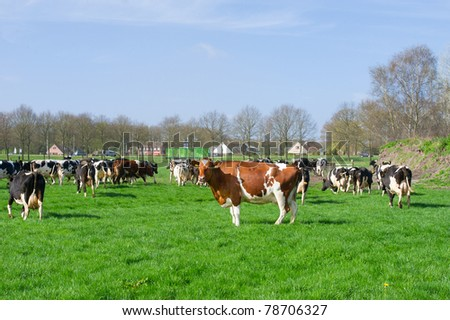 Dutch black and white cows in the pastures - stock photo
