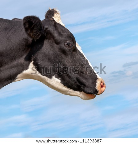 Dutch black and white spotted cow against a blue summer sky. - stock photo