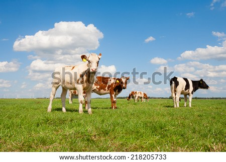 Dutch calves in the meadow - stock photo