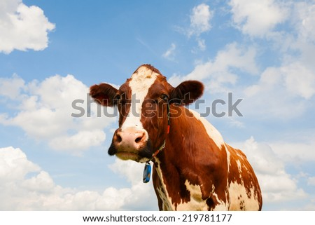 Dutch cow  - stock photo
