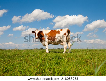 Dutch cow in the meadow  - stock photo