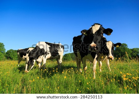 Dutch cows grazing in a meadow with yellow buttercup flowers. - stock photo