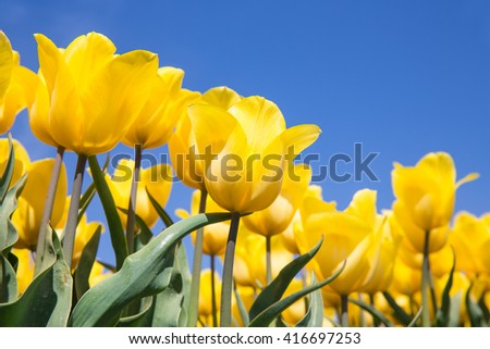 Dutch field with blooming yellow tulips and a blue sky - stock photo