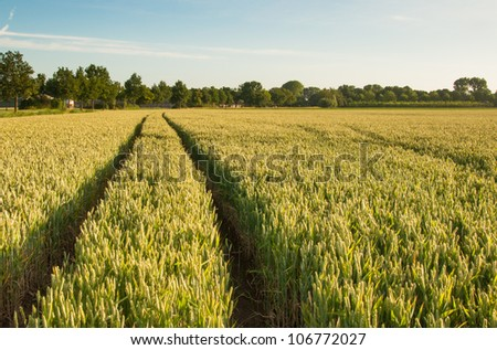 Dutch grain field with tractor tracks in the growing crop. - stock photo