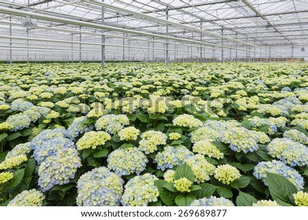 Dutch Greenhouse with cultivation of hydrangea - stock photo