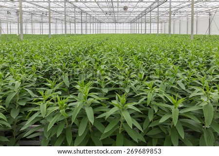 Dutch Greenhouse with cultivation of lily flowers - stock photo