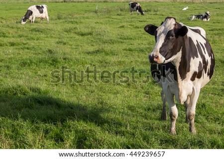 Dutch Holstein Zwartbont cow in a green grass meadow - stock photo
