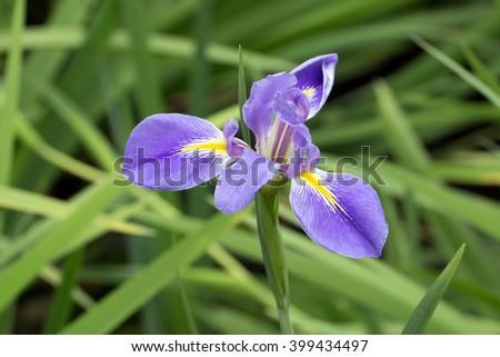 Dutch iris' purple flower blooming (Iris Ã? hollandica) - stock photo