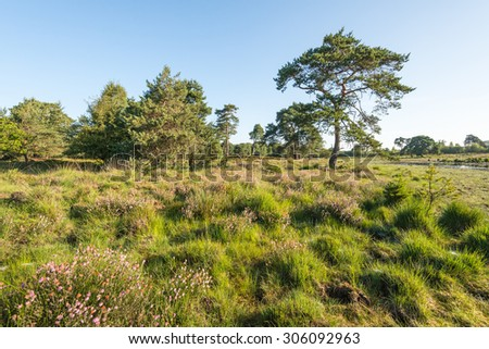 Dutch nature reserve in the summer with pink flowering heather and trees. In the background a small fen is just visible. - stock photo