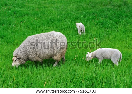 Dutch sheep - stock photo