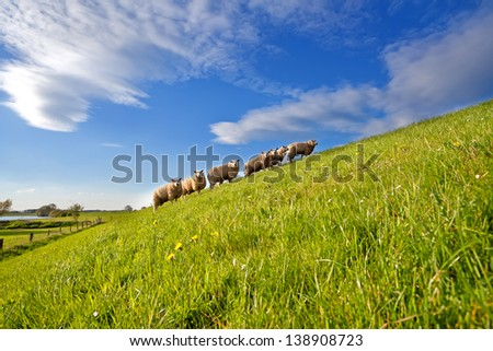 Dutch sheep herd on summer pasture with many flowers - stock photo