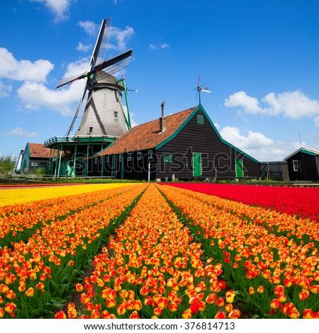 dutch windmill over orange tulips field , Holland - stock photo