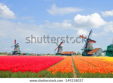 dutch windmills over tulips field in sunny day, Netherland - stock photo