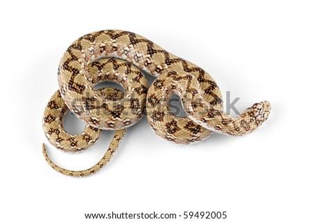 Dwarf beaked snake (Dipsina multimaculata) on white - stock photo