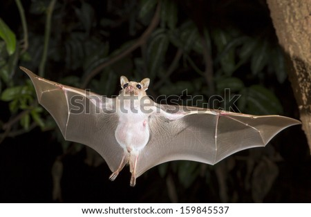 Dwarf epauletted fruit bat (Micropteropus pussilus) flying at night. - stock photo