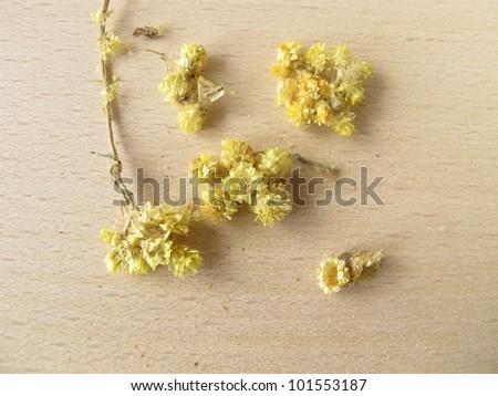 Dwarf everlast, Stoechados flos - stock photo