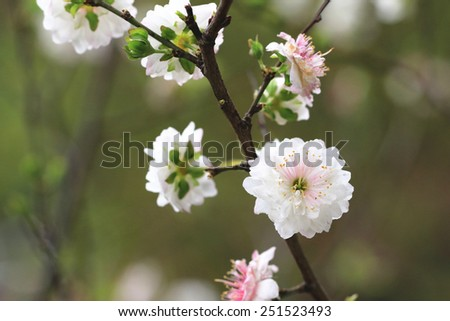 Dwarf Flowering Cherry,Dwarf Flowering Almond,beautiful white with pink flowers blooming in the garden - stock photo