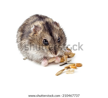 Dwarf hamster eating seed isolated on white background.  - stock photo